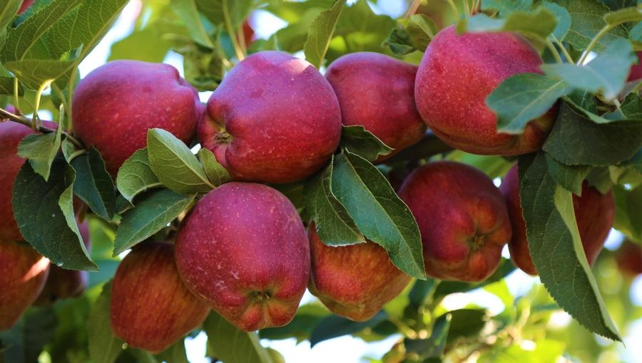 Jak się mają nasi konkurenci? Spojrzenie na rynek jabłek