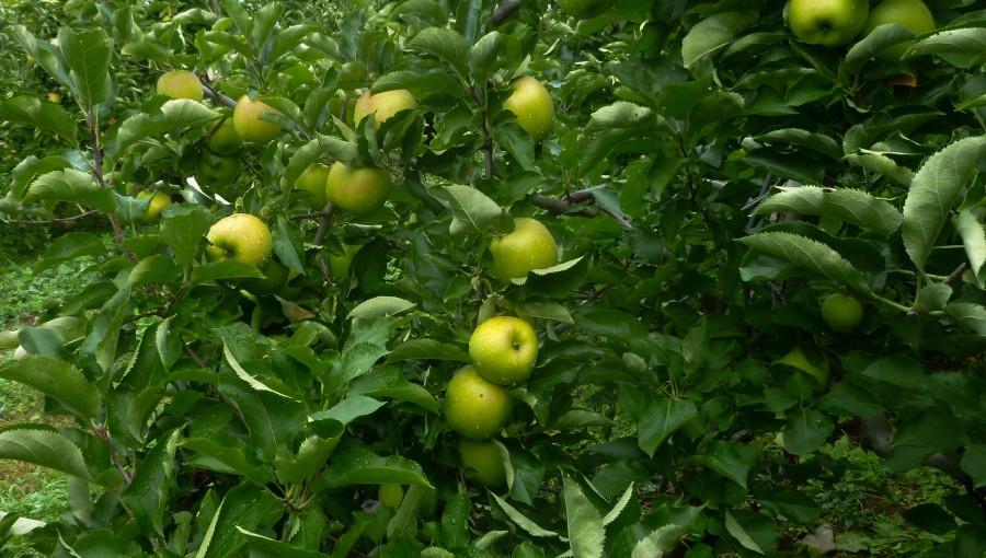 Czy polski Mutsu zyska na spadku produkcji zielonych jabłek na zachodzie?