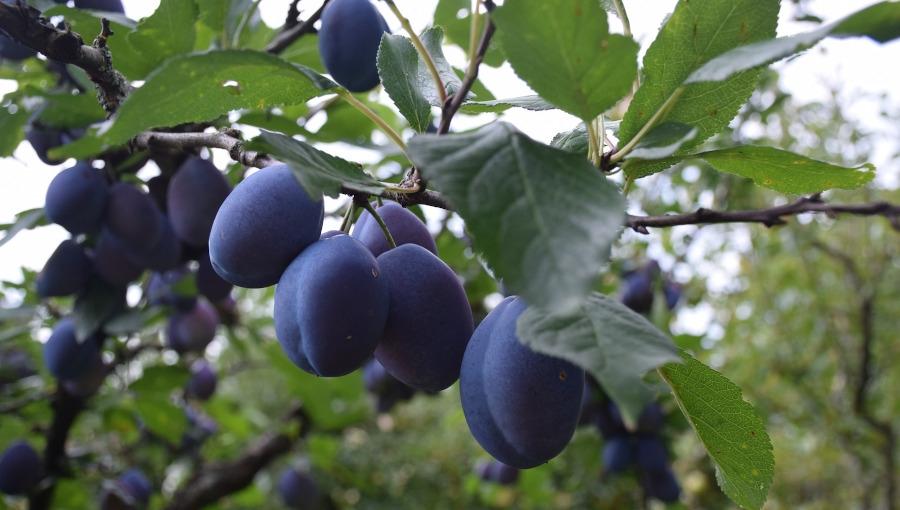 Mołdawianie są (zbyt) skuteczni w zagranicznym handlu owocami