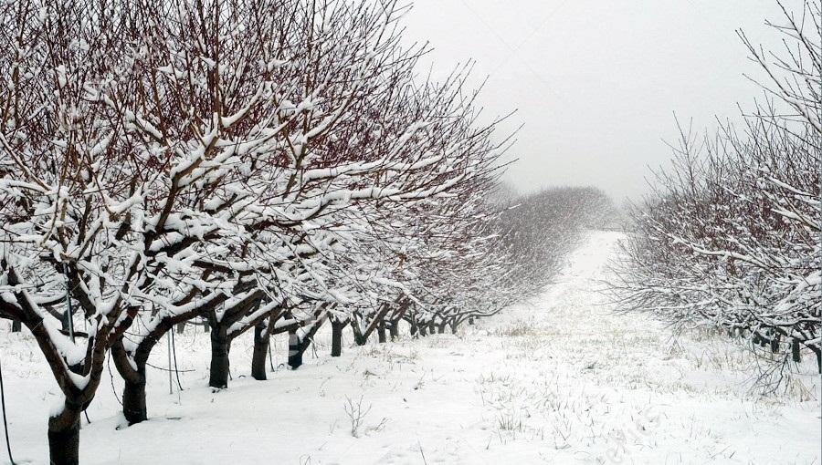 Czy sadom potrzebna jest mroźna i śnieżna zima?