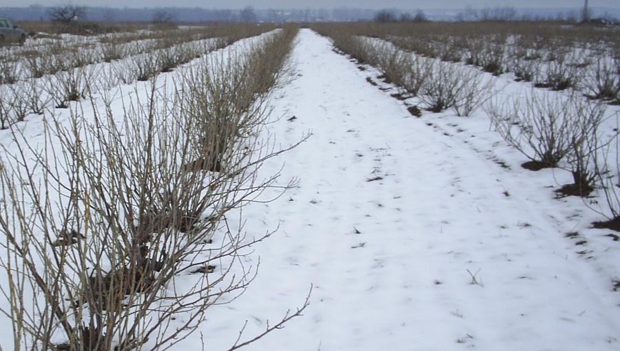 Pokrywa śnieżna opóźni terminowy rozsiew azotu? - program azotanowy