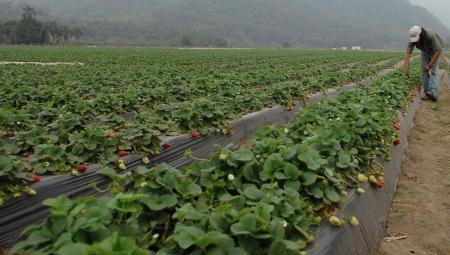 Wytyczne dla producentów rolnych zatrudniających cudzoziemców przy pracach sezonowych