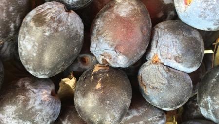 Jakość śliwek mocno ucierpiała po ulewach - więdnięcie owoców