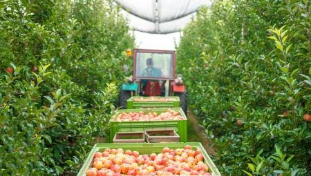 Będą dobre ceny jabłek po przechowywaniu?