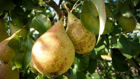 Czy potrzebujemy włoskich jabłek w październiku? O znaczeniu pierwszeństwa krajowych owoców nad importem