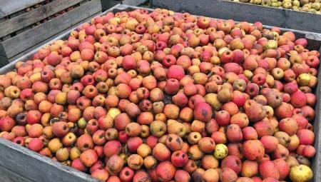 Niższe zbiory jabłek w Chinach wielką szansą dla polskich producentów?