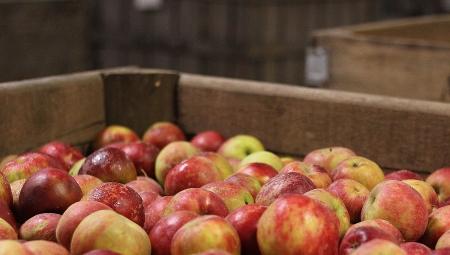 Jabłka w drodze do sortowni  stają się mniejsze i lżejsze