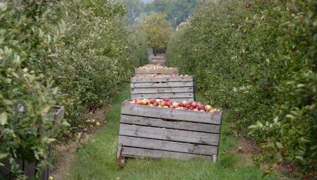 GUS ocenił zbiory owoców w Polsce w 2020