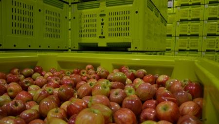 Jabłka nie wydobrzeją w chłodni...