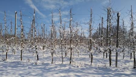 GUS: Straty mrozowe na plantacjach owoców mają charakter lokalny