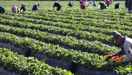 Zbiory truskawek w Hiszpanii - czy powtórzy się scenariusz z ubiegłego roku?