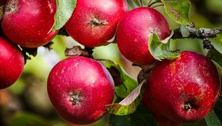 Wilgotna pogoda podczas zbiorów jabłek to wyższe ryzyko chorób przechowalniczych
