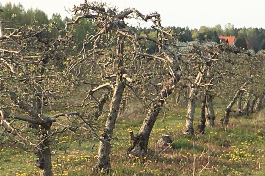 Stary sad przygięte gałęzie