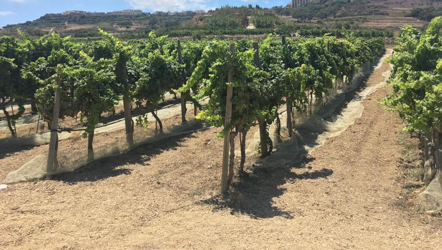 winnica uprawa winorośli