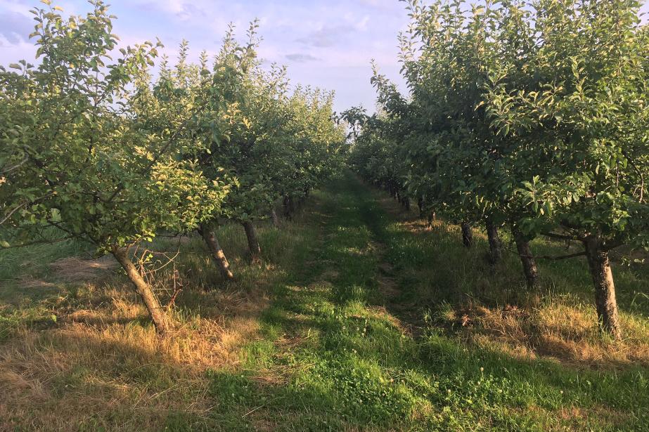 sad bez jabłek