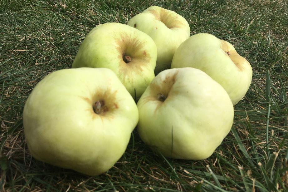 Jabłka odmiany Antonówka.