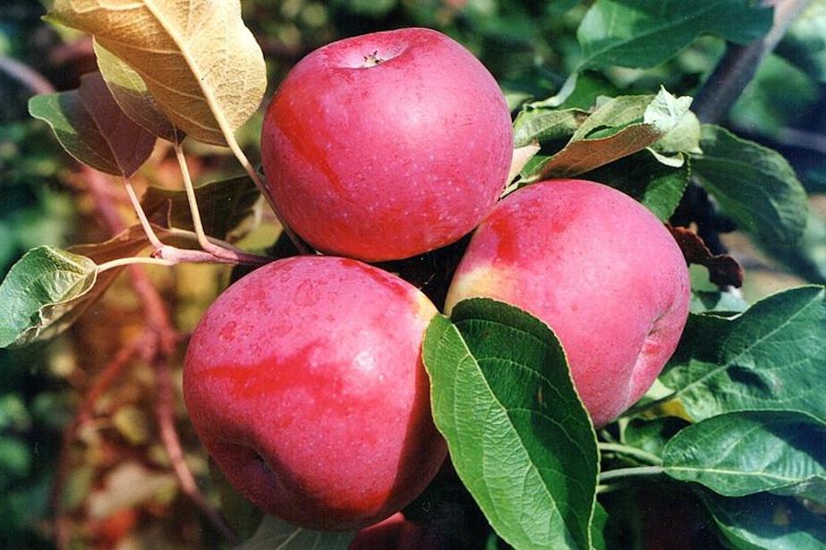 Jabłka odmiany Paulared.