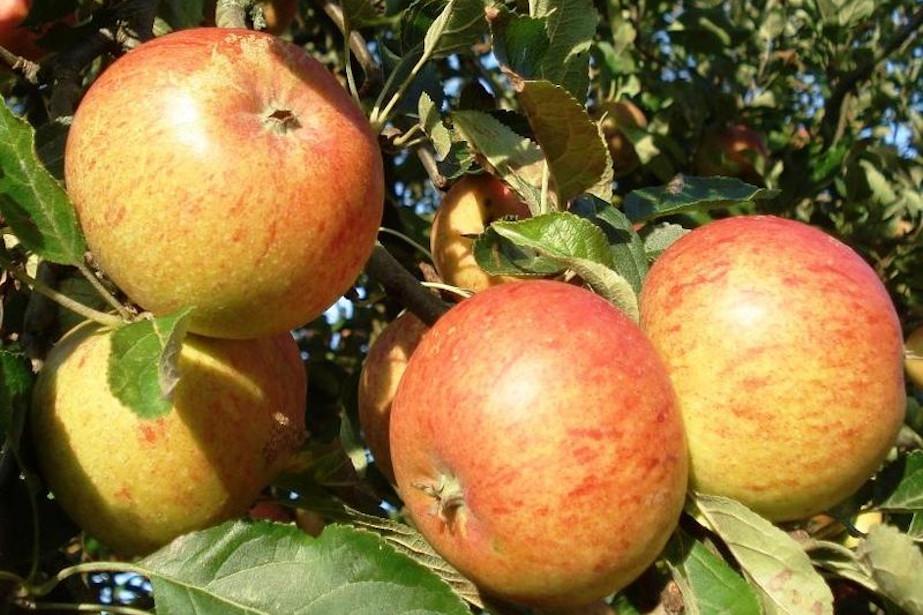 Jabłka odmiany Koksa Pomarańczowa.