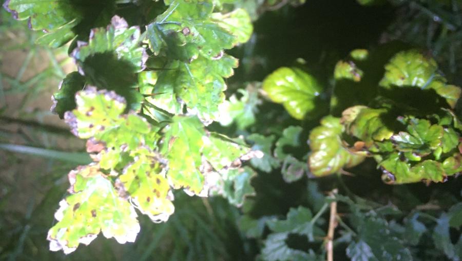 Opadzina liści na agreście