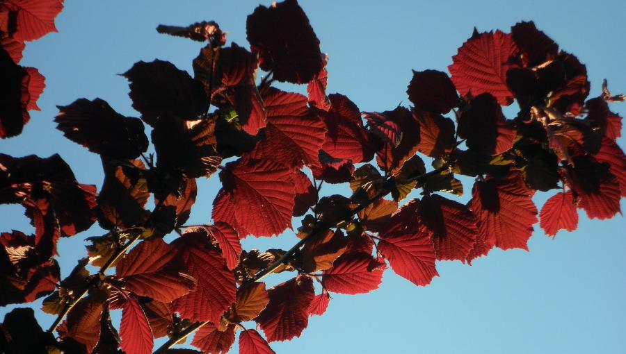 leszczyna czerwonolistna