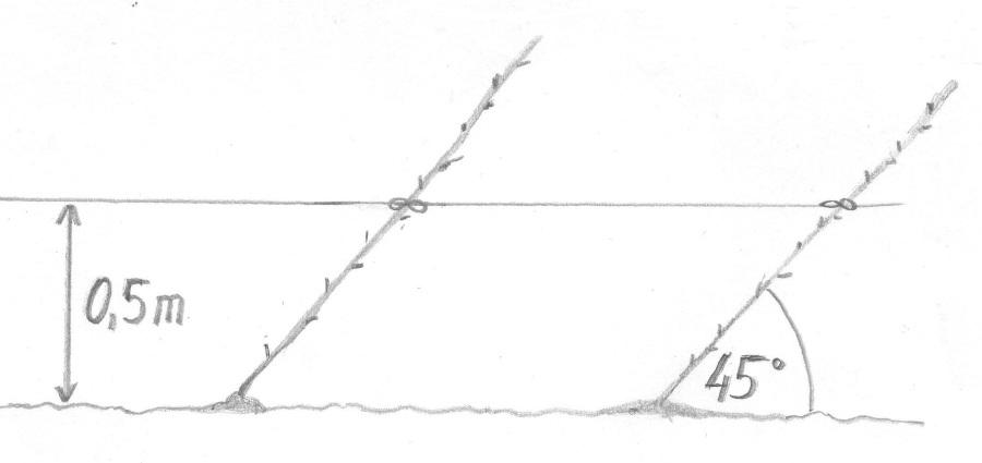 Sadzenie czereśni w systemie UFO.