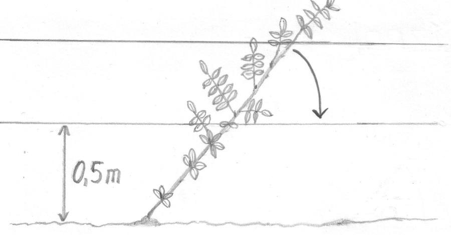 Formowanie ściany owoconośnej w systemie UFO - przyginanie przewodnika