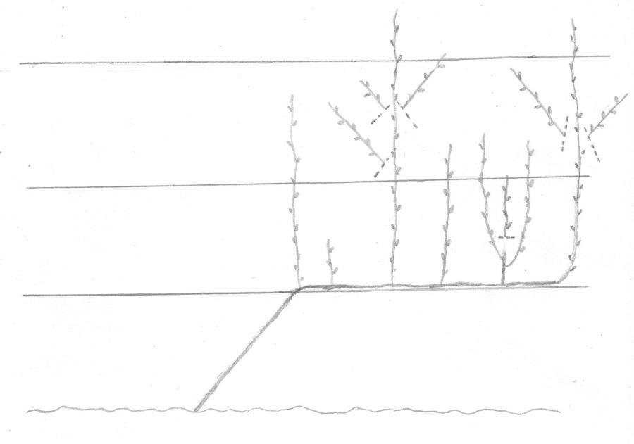 Drzewo uformowane w systemie UFO