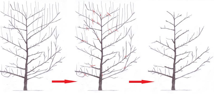 Schemat przedstawiający cięcie śliw z koronami przewodnikowymi