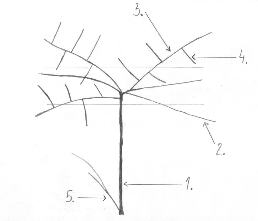 Uproszczony pokrój aktinidii z powierzchnią owoconośną w formie parasola