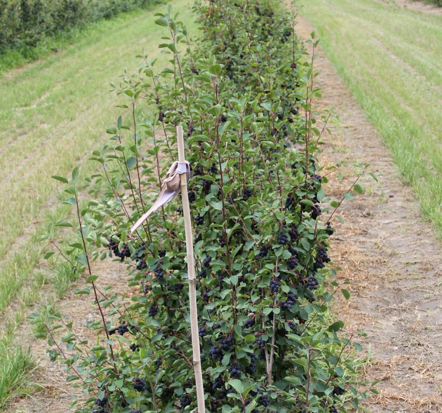Trzyletnie krzewy odmiany Amela
