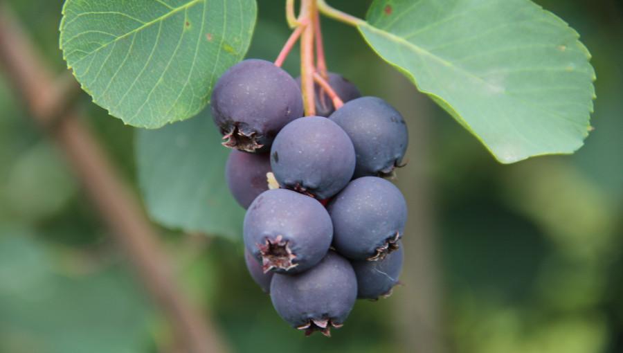 Owoce świdośliwy Amela w gronie