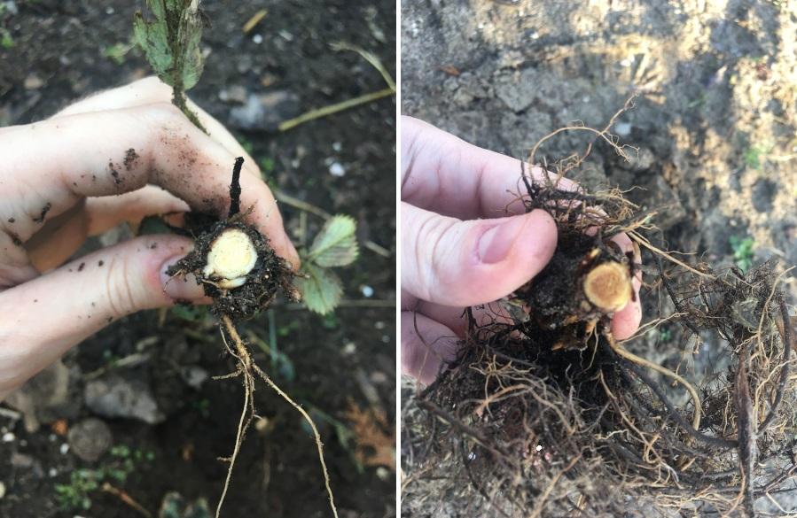 Uszkodzenie mrozowe na truskawce