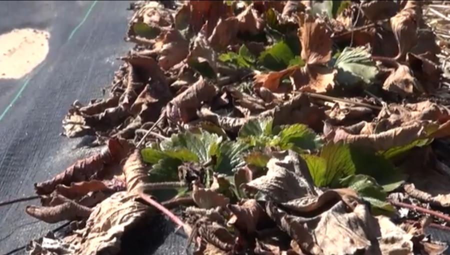 Uschnięte liście truskawek