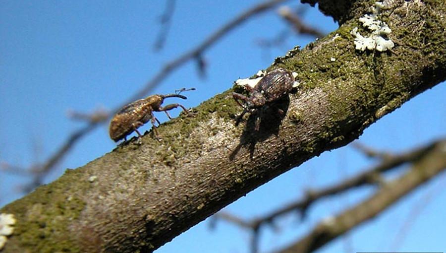 Dorosłe chrząszcze kwieciaka jabłkowca