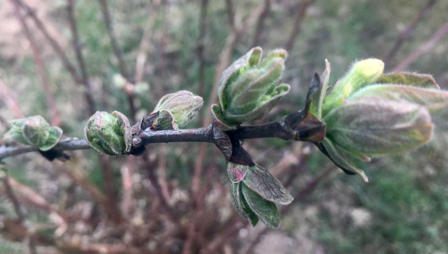 Jagoda kamczacka - pierwsze liście i zawiązki kwiatów