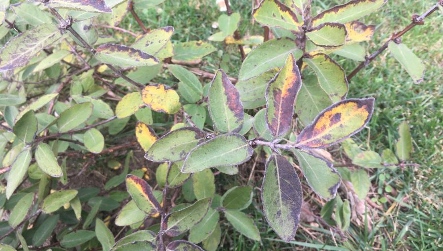 Przebarwienia liści jagody kamczackiej spowodowane nadmiarem wody w podłożu