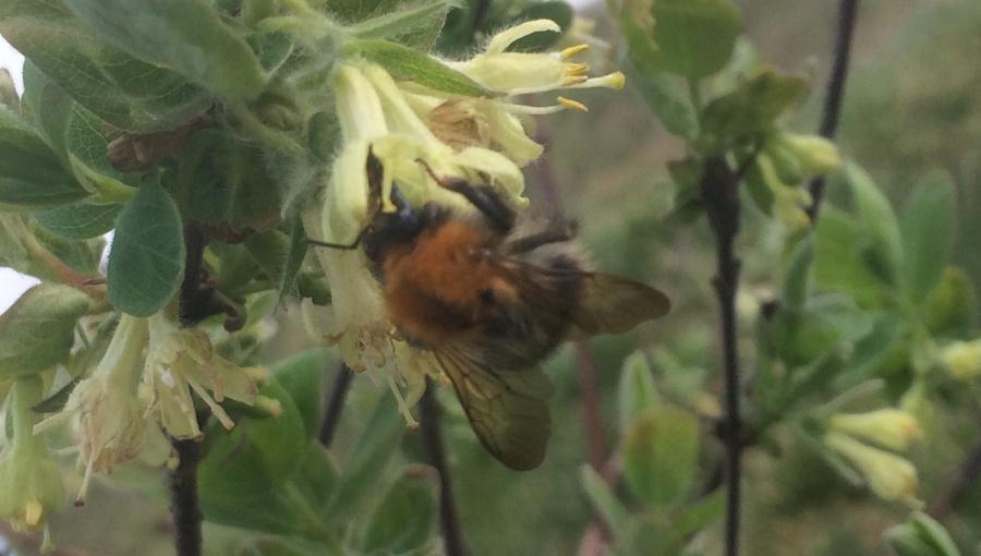 Trzmiel zbiera nektar z kwiatu jagody kamczackiej