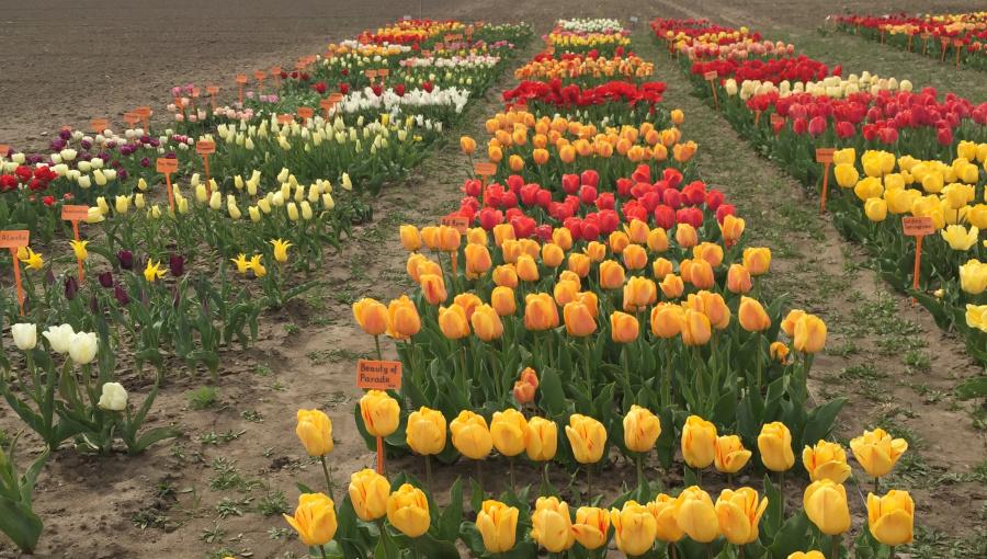 Fot. 2. Kolekcja tulipanów.