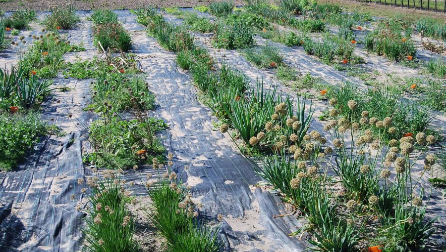Fot. 3. Kolekcja dzikich gatunków roślin cebulowych.