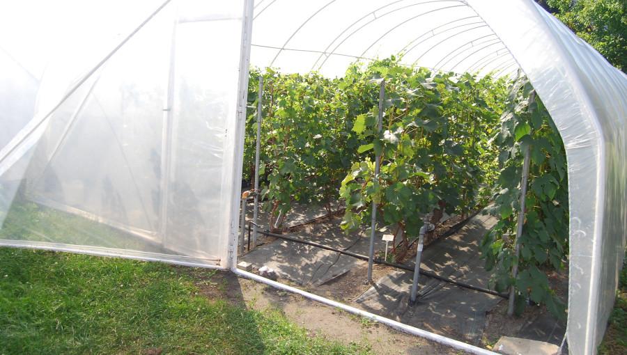 Fot. 4. Kolekcję wrażliwych na wymarzanie odmian winorośli prowadzi się pod tunelem foliowym.