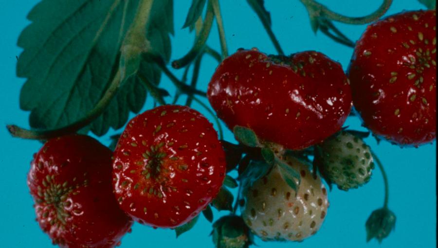 Deformacje owoców spowodowane przez zmiennika.