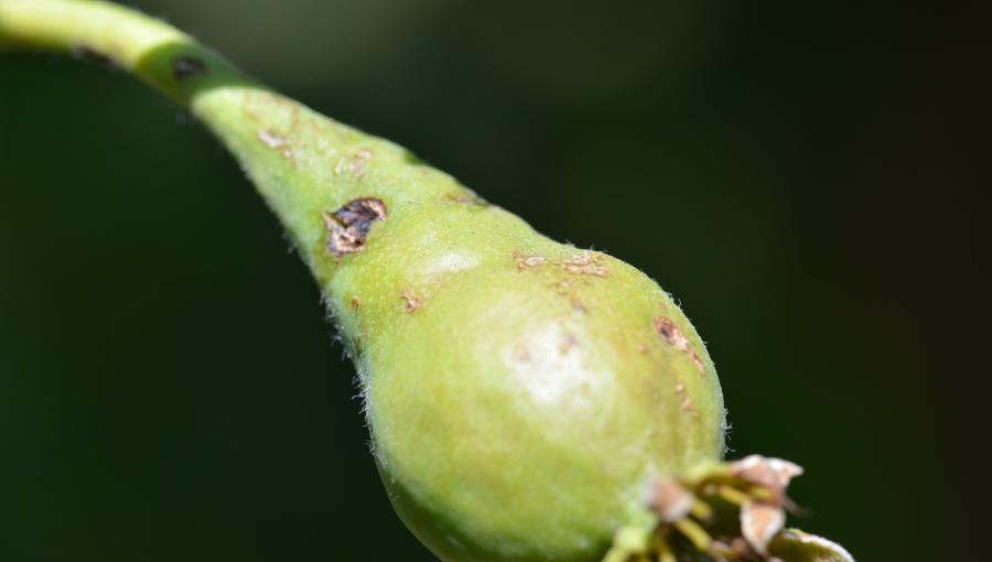 Uszkodzenia pogradowe na zawiązku gruszki