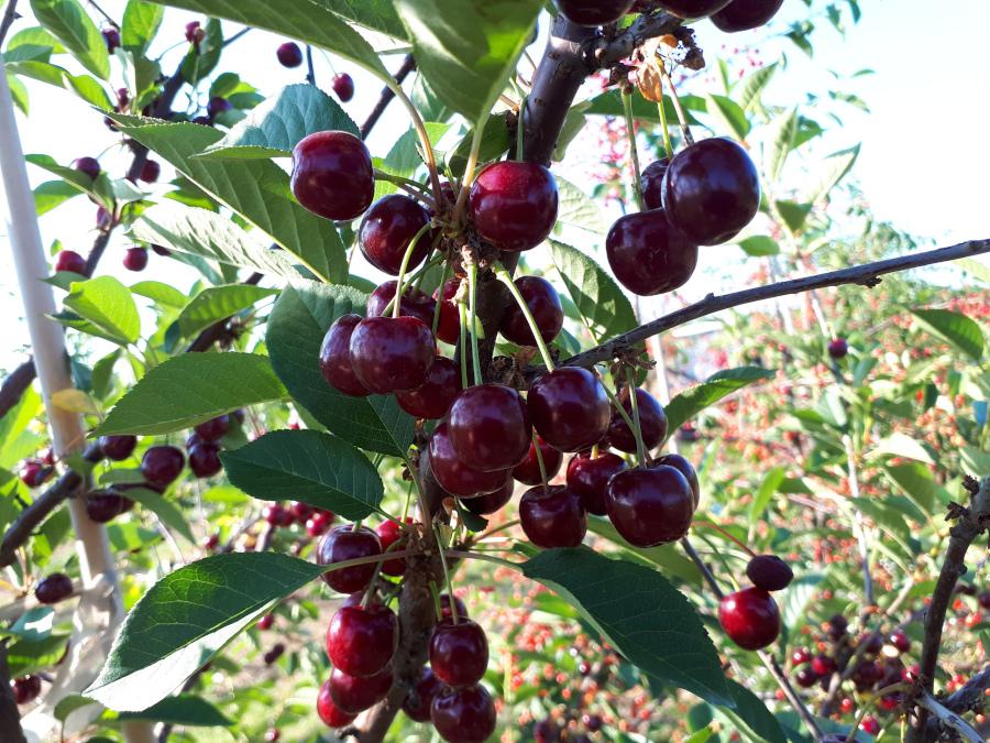 Owoce odmiany Granda na drzewie