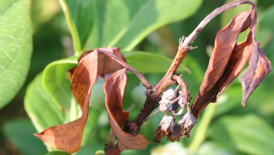 Fot. 2. Zamieranie pędu wraz z młodymi liśćmi i kwiatami w przebiegu oparzeliny borówki wysokiej.