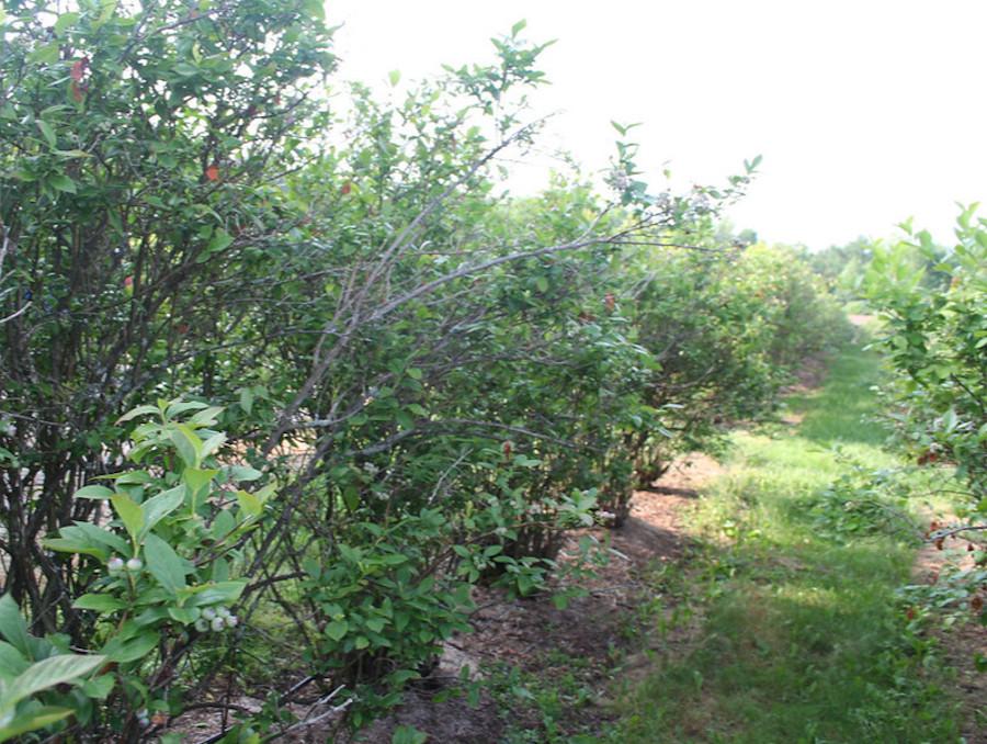 Fot. 4. Starsza plantacja zaatakowana przez wirusa oparzeliny borówki. Na pierwszym planie krzew z objawami choroby - słabe owocowanie, ogołocone pędy, widoczne nekrozy liści. Na drugim planie krzewy również zainfekowane przez wirusa, ale przebieg infekcji jest bezobjawowy.